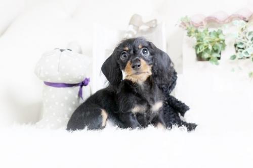 カニンヘンダックスフンド(ロング)の子犬(ID:1255411596)の1枚目の写真/更新日:2018-08-10