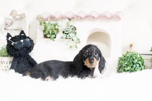 カニンヘンダックスフンド(ロング)の子犬(ID:1255411596)の2枚目の写真/更新日:2017-03-31