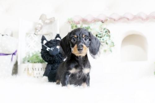 カニンヘンダックスフンド(ロング)の子犬(ID:1255411596)の3枚目の写真/更新日:2018-08-10