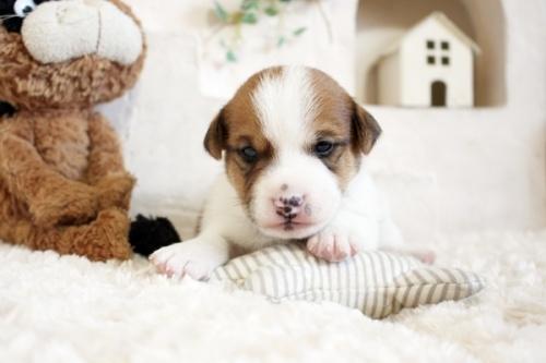 ジャックラッセルテリアの子犬(ID:1255411597)の2枚目の写真/更新日:2017-03-31