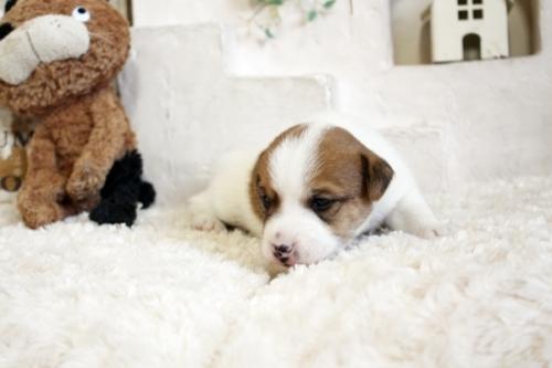 ジャックラッセルテリアの子犬(ID:1255411597)の3枚目の写真/更新日:2019-03-22