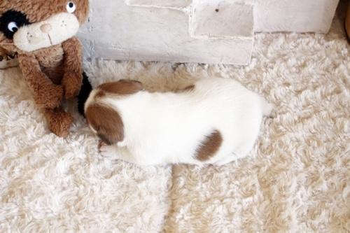 ジャックラッセルテリアの子犬(ID:1255411597)の5枚目の写真/更新日:2017-03-31