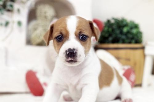 ジャックラッセルテリアの子犬(ID:1255411598)の1枚目の写真/更新日:2017-03-31