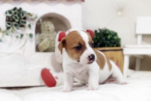 ジャックラッセルテリアの子犬(ID:1255411598)の2枚目の写真/更新日:2017-03-31