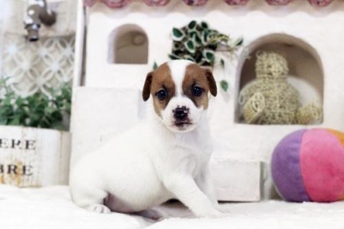ジャックラッセルテリアの子犬(ID:1255411599)の2枚目の写真/更新日:2017-04-26