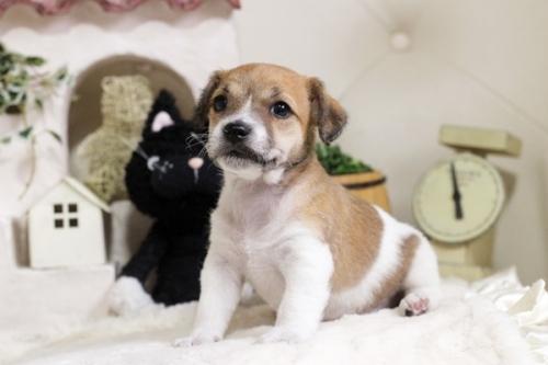 ジャックラッセルテリアの子犬(ID:1255411600)の1枚目の写真/更新日:2019-04-23