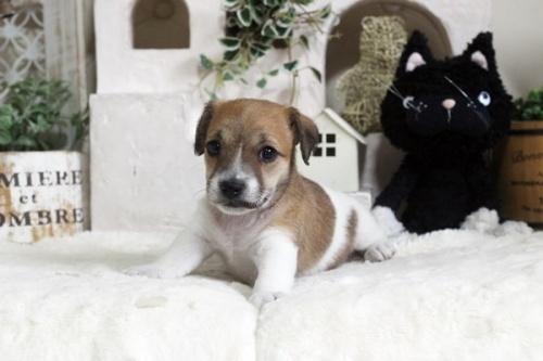 ジャックラッセルテリアの子犬(ID:1255411600)の2枚目の写真/更新日:2019-04-23