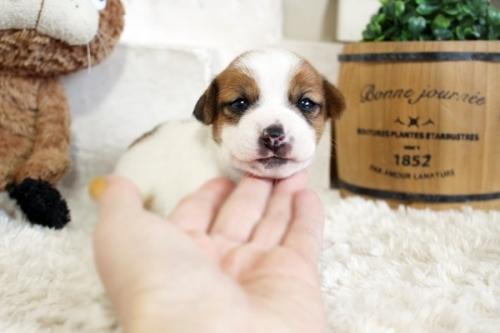 ジャックラッセルテリアの子犬(ID:1255411601)の1枚目の写真/更新日:2019-04-23