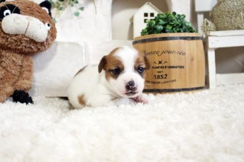 ジャックラッセルテリアの子犬(ID:1255411601)の2枚目の写真/更新日:2017-03-31