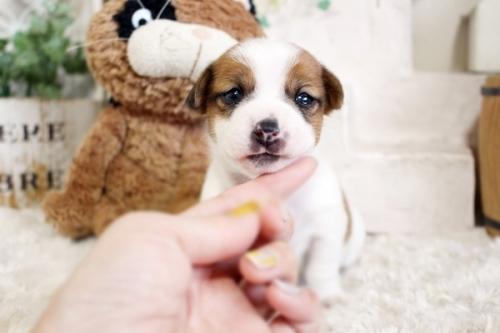 ジャックラッセルテリアの子犬(ID:1255411601)の3枚目の写真/更新日:2017-03-31