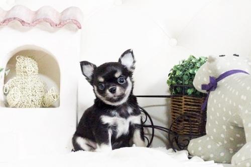 チワワ(ロング)の子犬(ID:1255411602)の1枚目の写真/更新日:2017-04-09