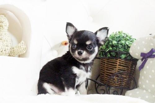 チワワ(ロング)の子犬(ID:1255411602)の2枚目の写真/更新日:2017-04-09