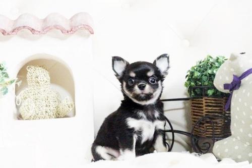 チワワ(ロング)の子犬(ID:1255411602)の3枚目の写真/更新日:2017-04-09