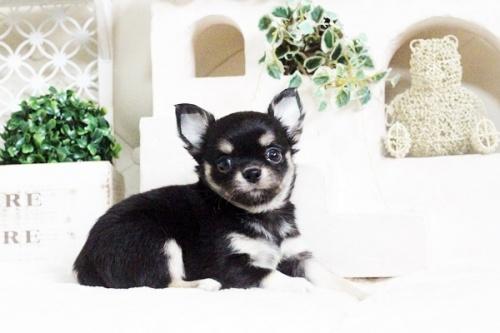 チワワ(ロング)の子犬(ID:1255411602)の5枚目の写真/更新日:2017-04-09