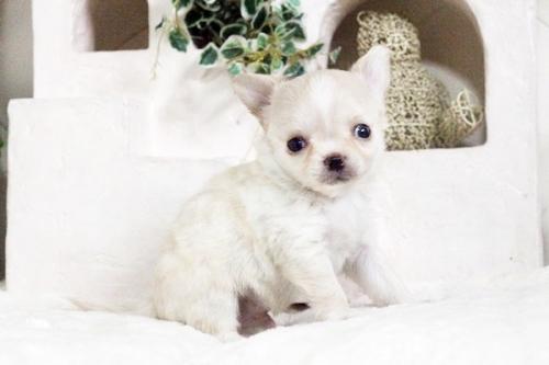 ウェルシュ・コーギー・ペンブロークの子犬(ID:1255411603)の1枚目の写真/更新日:2017-04-09