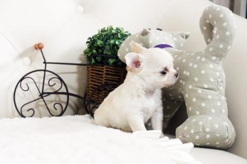 ウェルシュ・コーギー・ペンブロークの子犬(ID:1255411603)の3枚目の写真/更新日:2017-04-09