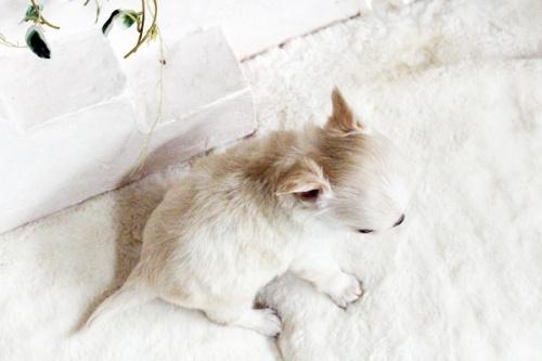 ウェルシュ・コーギー・ペンブロークの子犬(ID:1255411603)の4枚目の写真/更新日:2017-04-09
