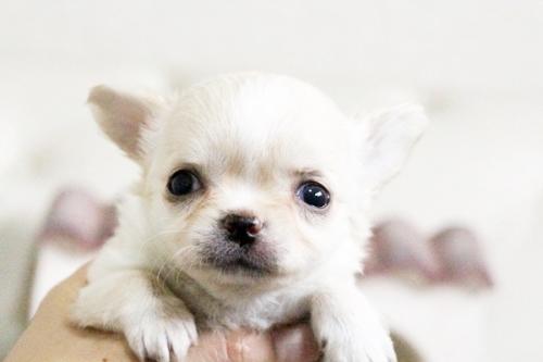 ウェルシュ・コーギー・ペンブロークの子犬(ID:1255411603)の5枚目の写真/更新日:2017-04-09