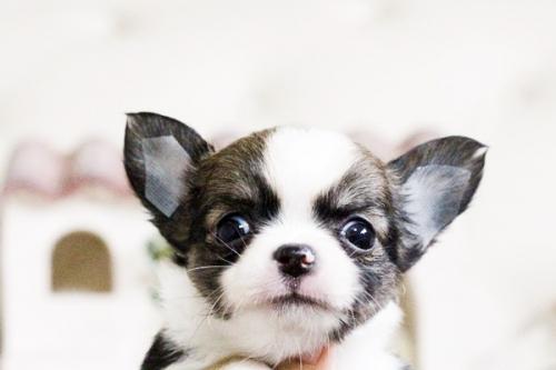 チワワ(ロング)の子犬(ID:1255411604)の2枚目の写真/更新日:2017-04-09
