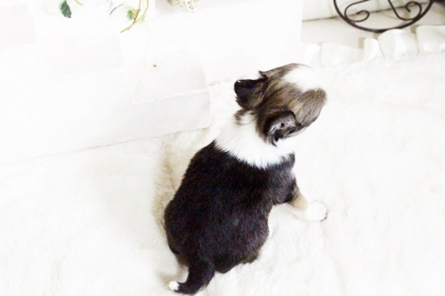 チワワ(ロング)の子犬(ID:1255411604)の3枚目の写真/更新日:2017-04-09