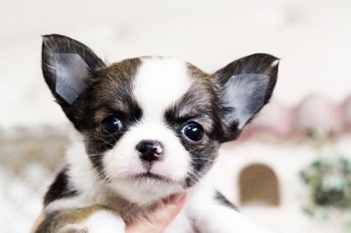 チワワ(ロング)の子犬(ID:1255411604)の5枚目の写真/更新日:2017-04-09