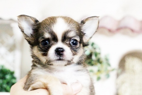 チワワ(ロング)の子犬(ID:1255411605)の1枚目の写真/更新日:2017-04-09