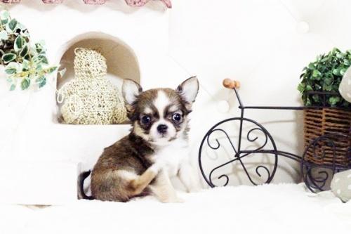 チワワ(ロング)の子犬(ID:1255411605)の2枚目の写真/更新日:2017-04-09