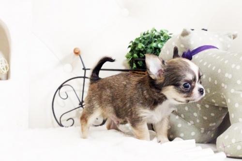 チワワ(ロング)の子犬(ID:1255411605)の4枚目の写真/更新日:2017-04-09