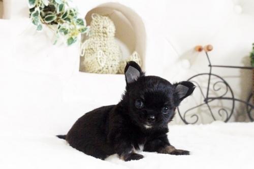 チワワ(ロング)の子犬(ID:1255411606)の1枚目の写真/更新日:2017-04-09