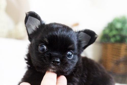 チワワ(ロング)の子犬(ID:1255411606)の2枚目の写真/更新日:2017-04-09