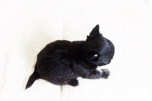 チワワ(ロング)の子犬(ID:1255411606)の4枚目の写真/更新日:2017-04-09