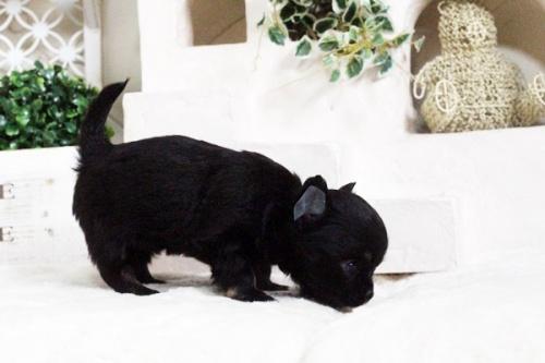 チワワ(ロング)の子犬(ID:1255411606)の5枚目の写真/更新日:2017-04-09
