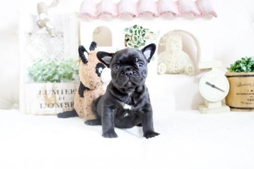 フレンチブルドッグの子犬(ID:1255411607)の1枚目の写真/更新日:2021-04-23