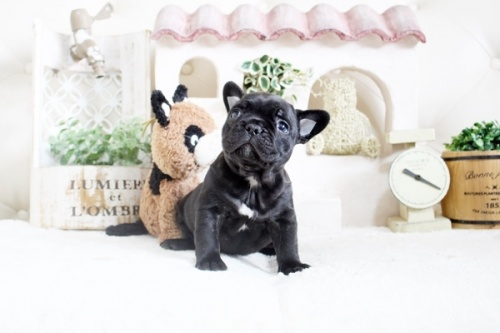 フレンチブルドッグの子犬(ID:1255411607)の2枚目の写真/更新日:2017-04-09