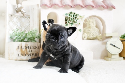 フレンチブルドッグの子犬(ID:1255411607)の3枚目の写真/更新日:2021-04-23