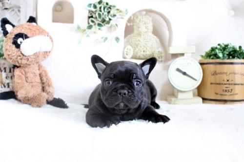 フレンチブルドッグの子犬(ID:1255411607)の4枚目の写真/更新日:2021-04-23
