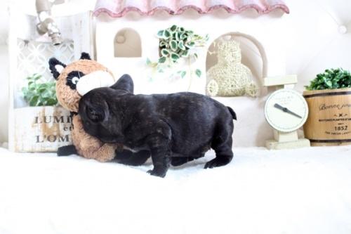 フレンチブルドッグの子犬(ID:1255411607)の5枚目の写真/更新日:2021-04-23
