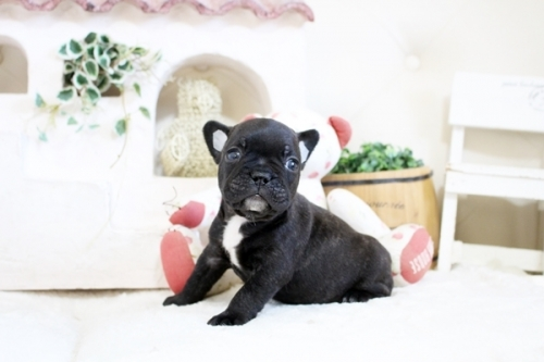 フレンチブルドッグの子犬(ID:1255411608)の1枚目の写真/更新日:2017-04-09