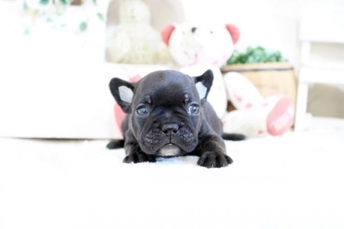 フレンチブルドッグの子犬(ID:1255411608)の2枚目の写真/更新日:2017-04-09