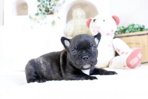 フレンチブルドッグの子犬(ID:1255411608)の3枚目の写真/更新日:2017-04-09
