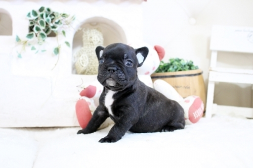フレンチブルドッグの子犬(ID:1255411608)の4枚目の写真/更新日:2021-04-02