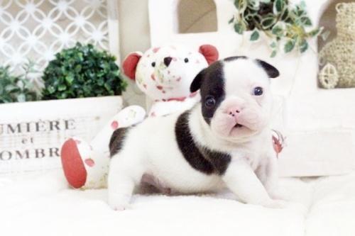 フレンチブルドッグの子犬(ID:1255411609)の1枚目の写真/更新日:2017-04-09