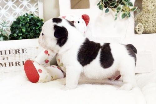 フレンチブルドッグの子犬(ID:1255411609)の4枚目の写真/更新日:2017-04-09