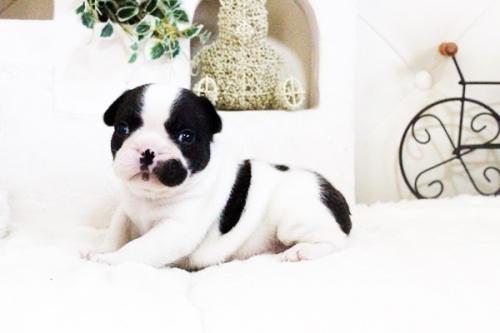 フレンチブルドッグの子犬(ID:1255411610)の1枚目の写真/更新日:2017-04-09