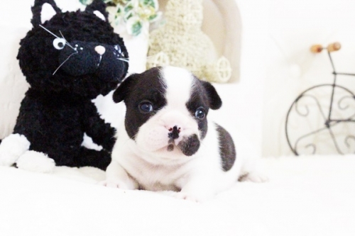 フレンチブルドッグの子犬(ID:1255411610)の2枚目の写真/更新日:2017-04-09