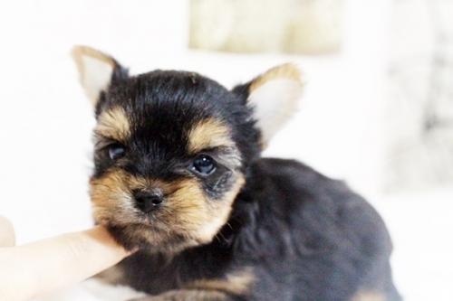 ヨークシャーテリアの子犬(ID:1255411611)の1枚目の写真/更新日:2017-04-12
