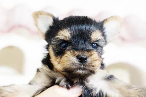 ヨークシャーテリアの子犬(ID:1255411611)の2枚目の写真/更新日:2017-04-12