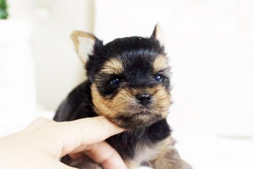 ヨークシャーテリアの子犬(ID:1255411611)の4枚目の写真/更新日:2017-04-12
