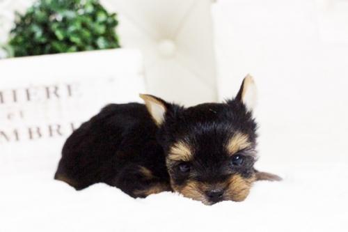 ヨークシャーテリアの子犬(ID:1255411611)の5枚目の写真/更新日:2017-04-12