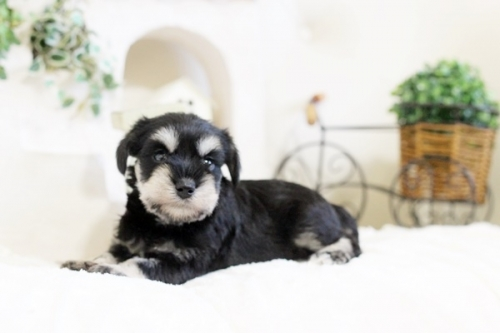 ミニチュアシュナウザーの子犬(ID:1255411613)の1枚目の写真/更新日:2017-04-12